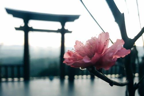 Foto profissional grátis de cerejeira, filial, flor cor-de-rosa, portal