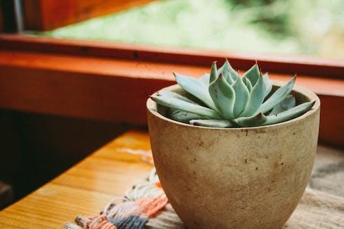 Fotobanka sbezplatnými fotkami na tému črepník, rastlina, rastlina vkvetináči, sukulent