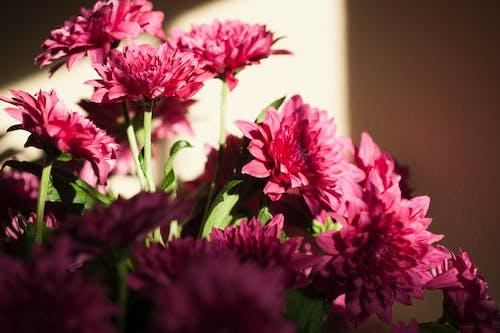 국화, 꽃, 보라색 꽃, 자연의 무료 스톡 사진