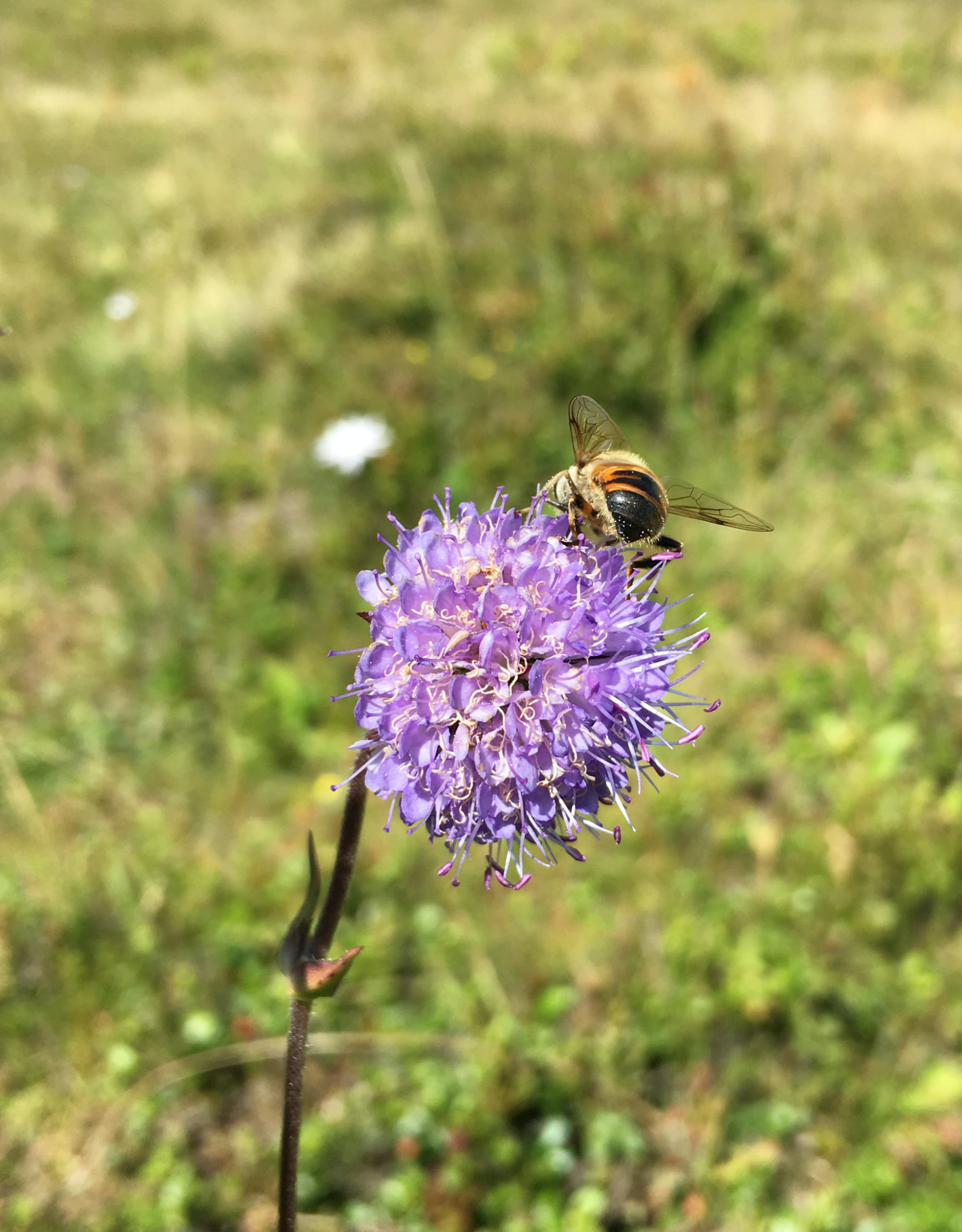 Free stock photo of beautiful flower, bee, bee pollen, nature