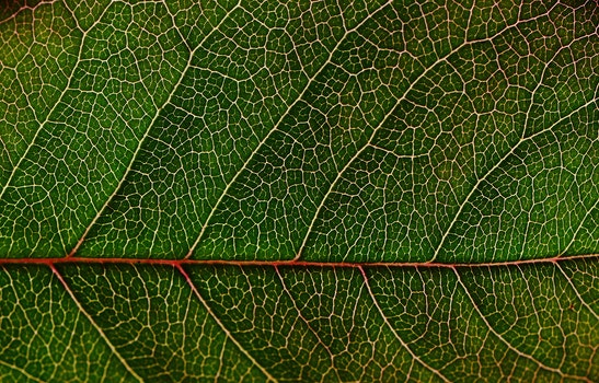 Green Leaf in Macro Photography