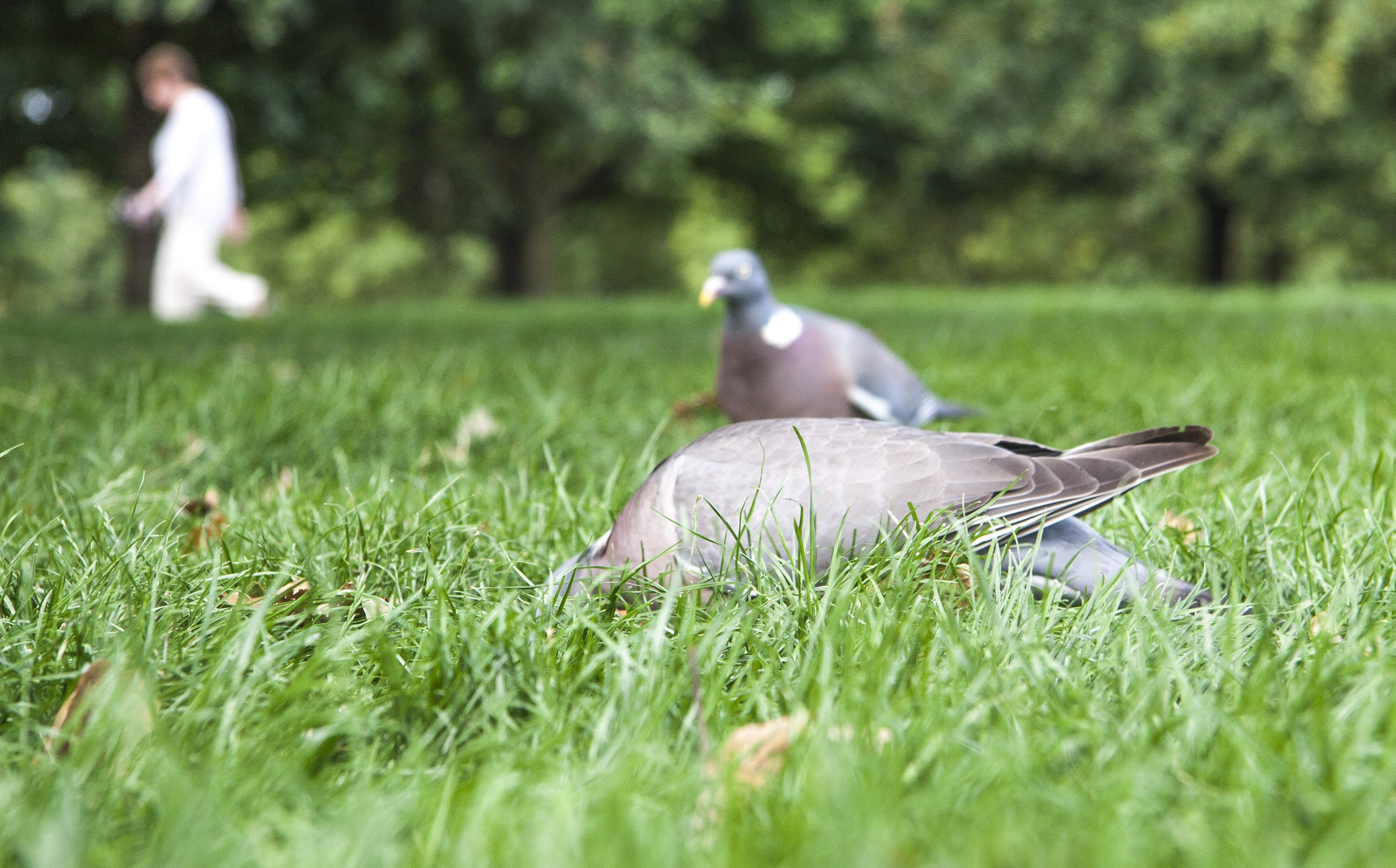 Free stock photo of city park, grass field, green, pigeons