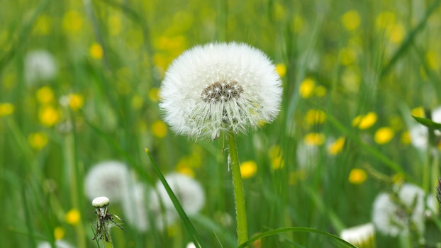 Dandelion on Green Grass Field in Shallow Focus Lens