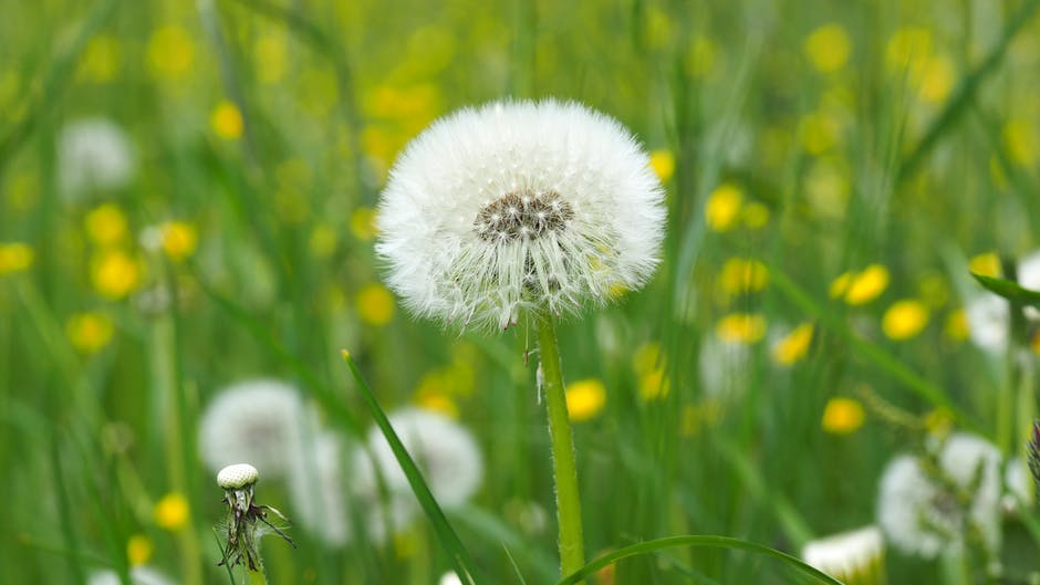 Dandelion on Green Grass Field in Shallow Focus Lens