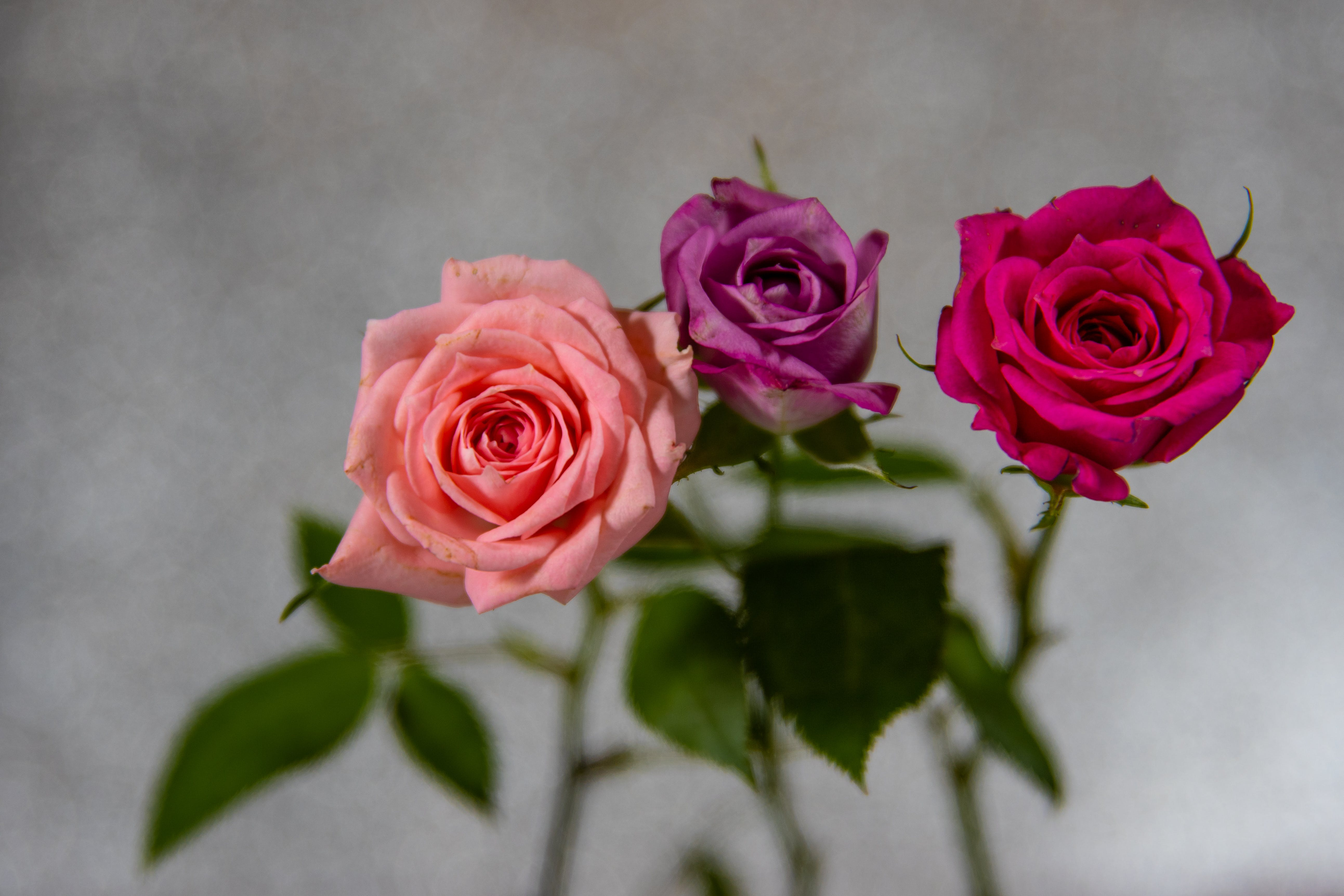 Close-Up Photo of Three Roses