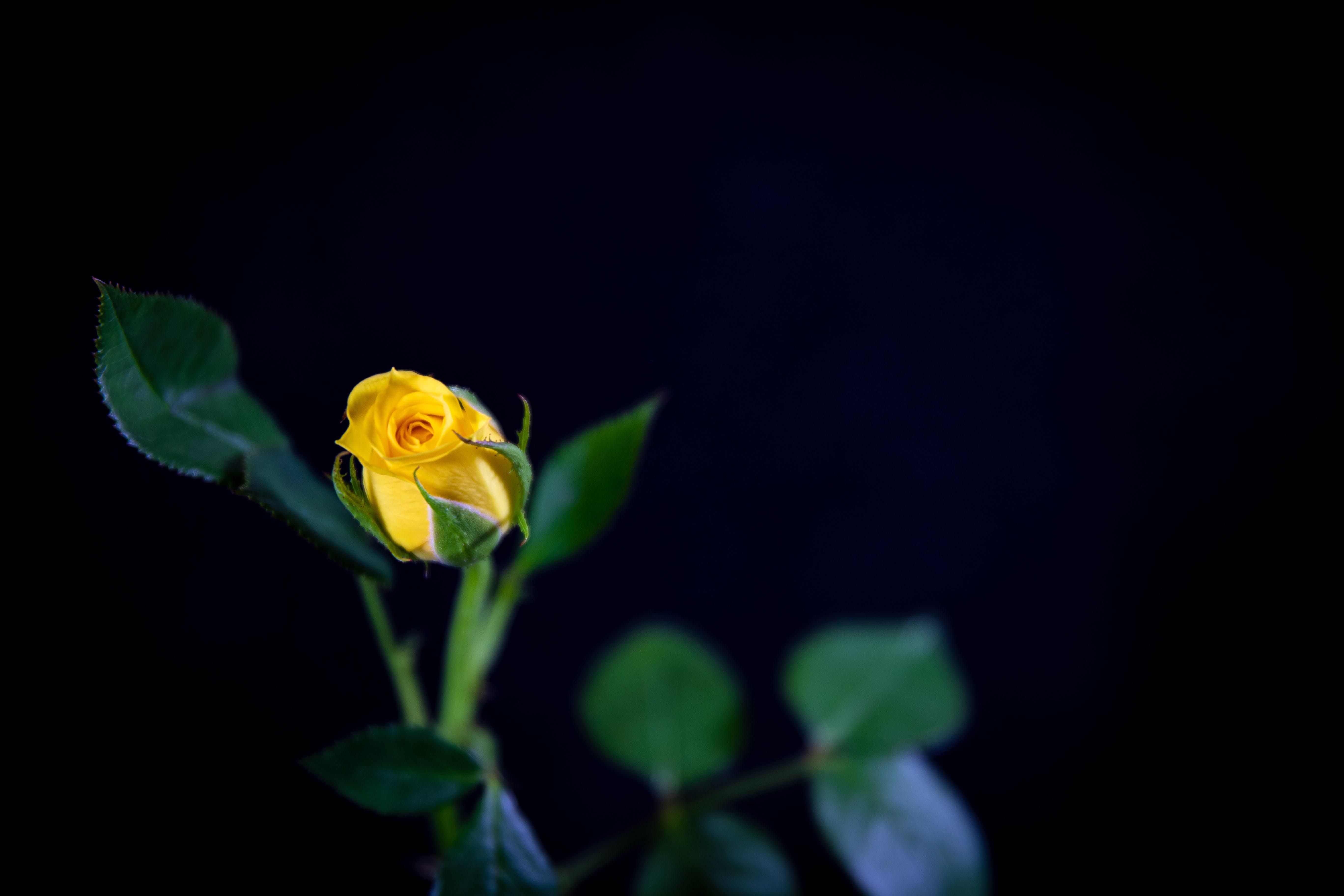 Yellow Hybrid Tea Rose Flower in Bloom