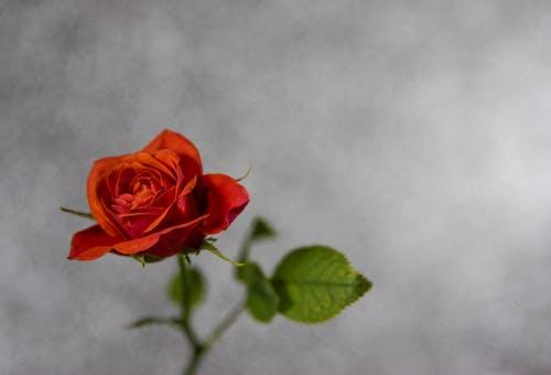 Бесплатное стоковое фото с красивый, лепестки, лето, любовь