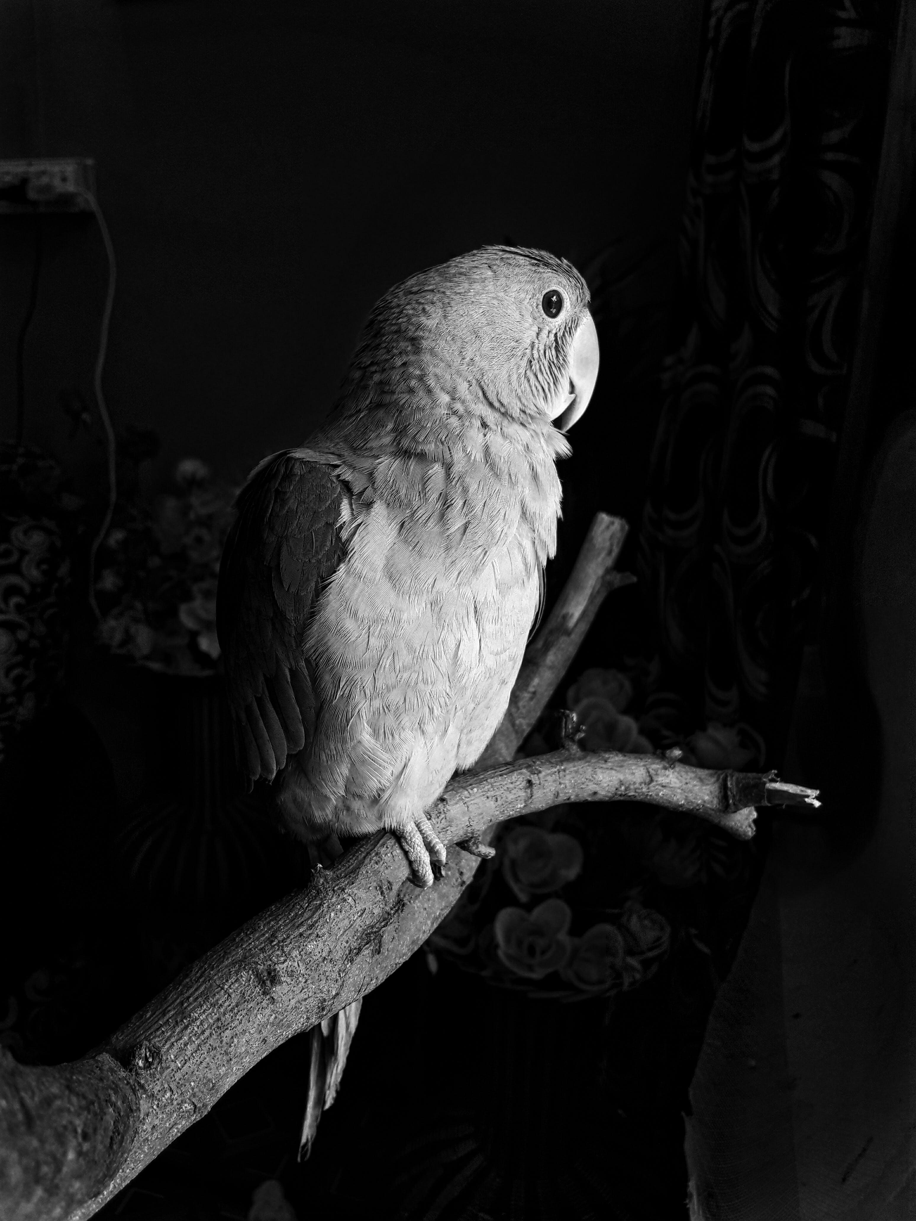 Gratis lagerfoto af Ara, papegøje, siddende, sort/hvid