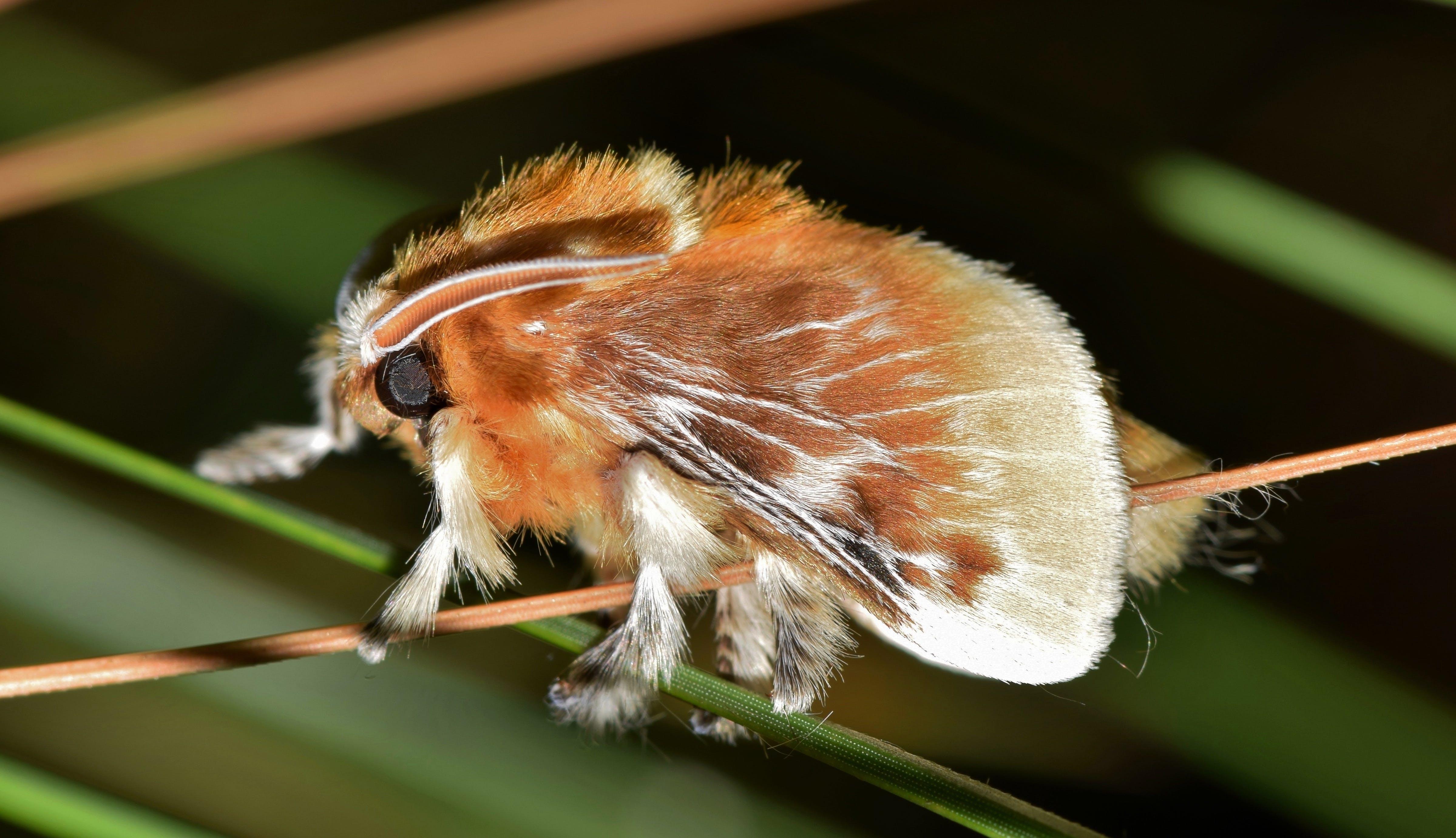 Brown Tussock Moth in Tilt Shift Lens