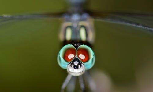 คลังภาพถ่ายฟรี ของ odonate, ดวงตา, ธรรมชาติ, ปีก