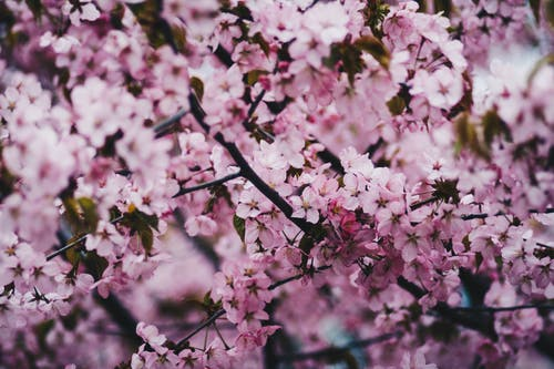 Ingyenes stockfotó cseresznyevirágok, finom, gyönyörű virágok, növényvilág témában