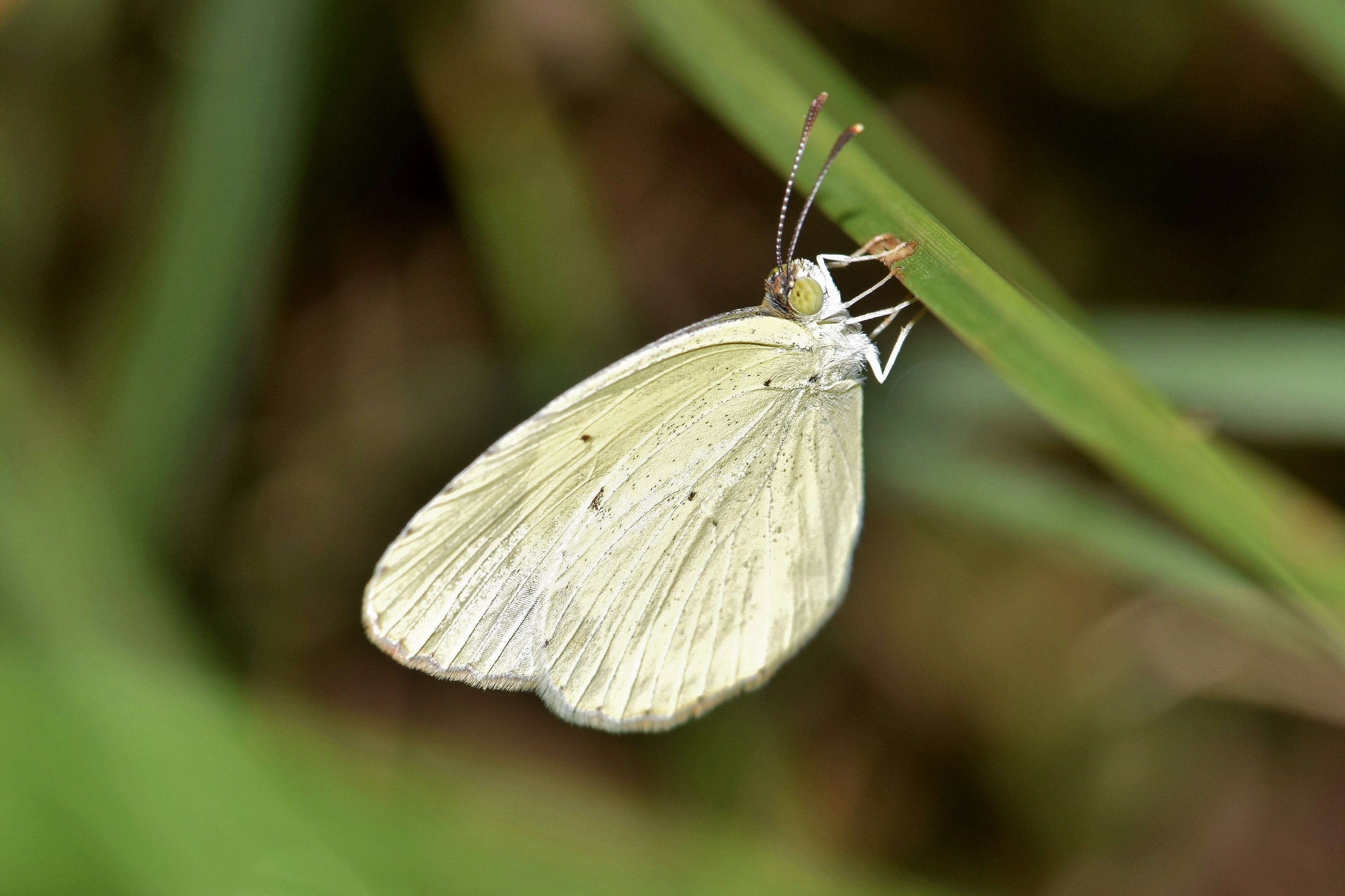 Shallow Focus of White and Green Butterfly
