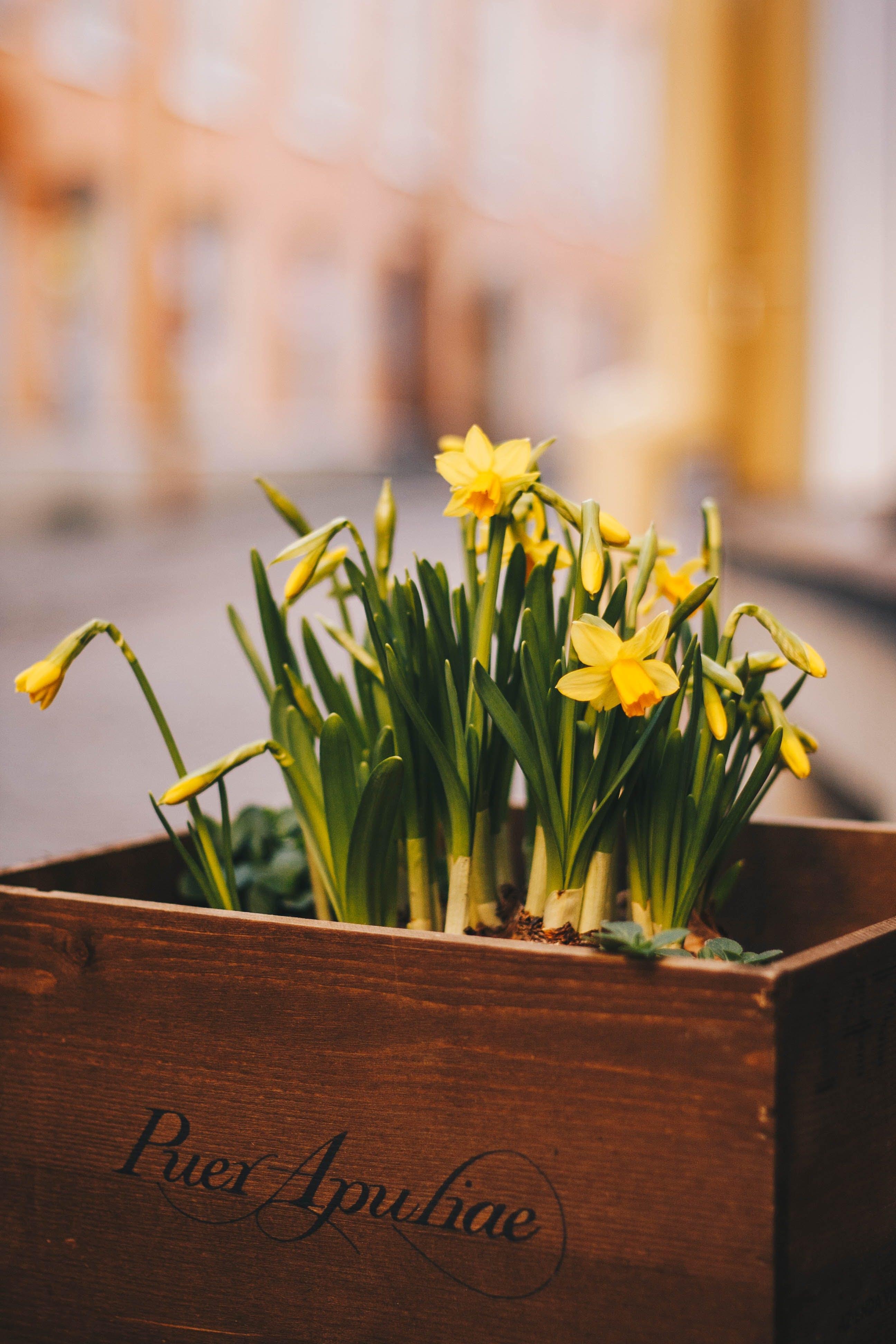 Daffodils in Box
