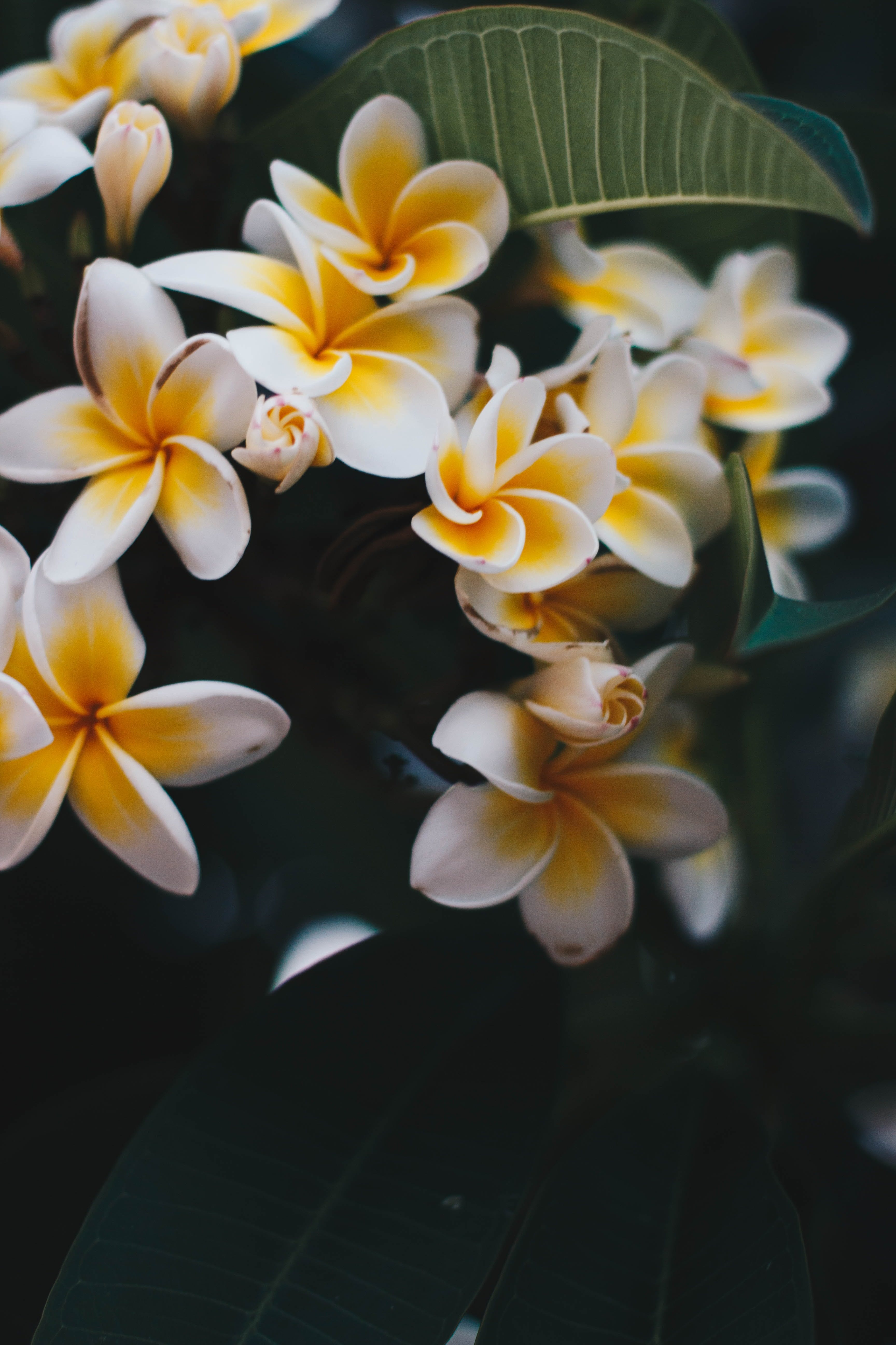 Photo of Yellow-and-white Frangipani Flowers