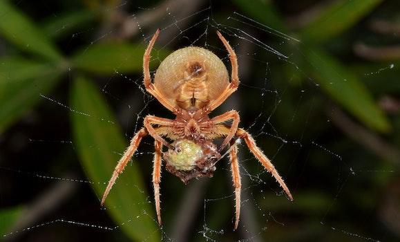 Eating Orange Barn Spider
