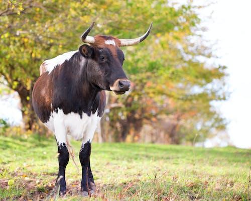 Darmowe zdjęcie z galerii z krowa, krowy, zwierzęta