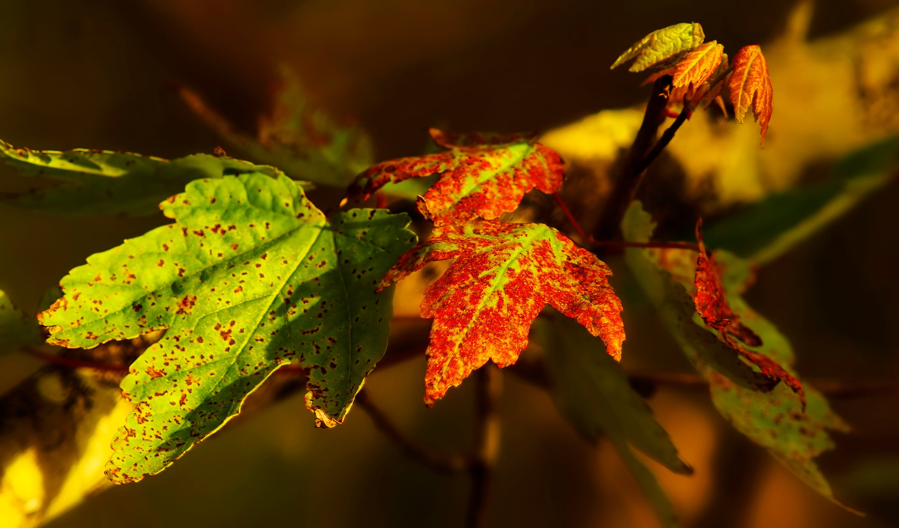 Selective Focus Photography of Green and Red Maple Leaves