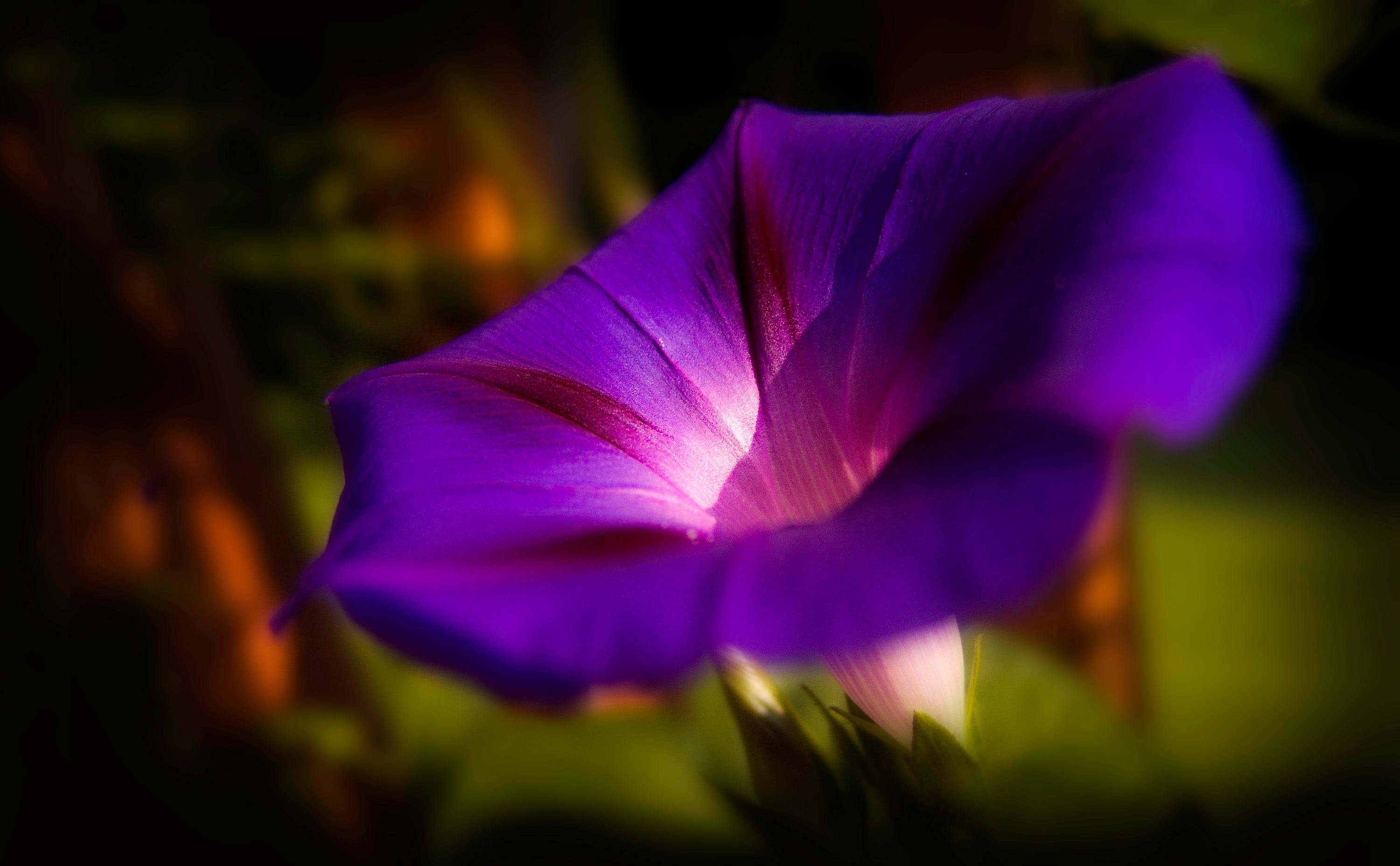 Macro Photography of Purple Morning Glory Flower