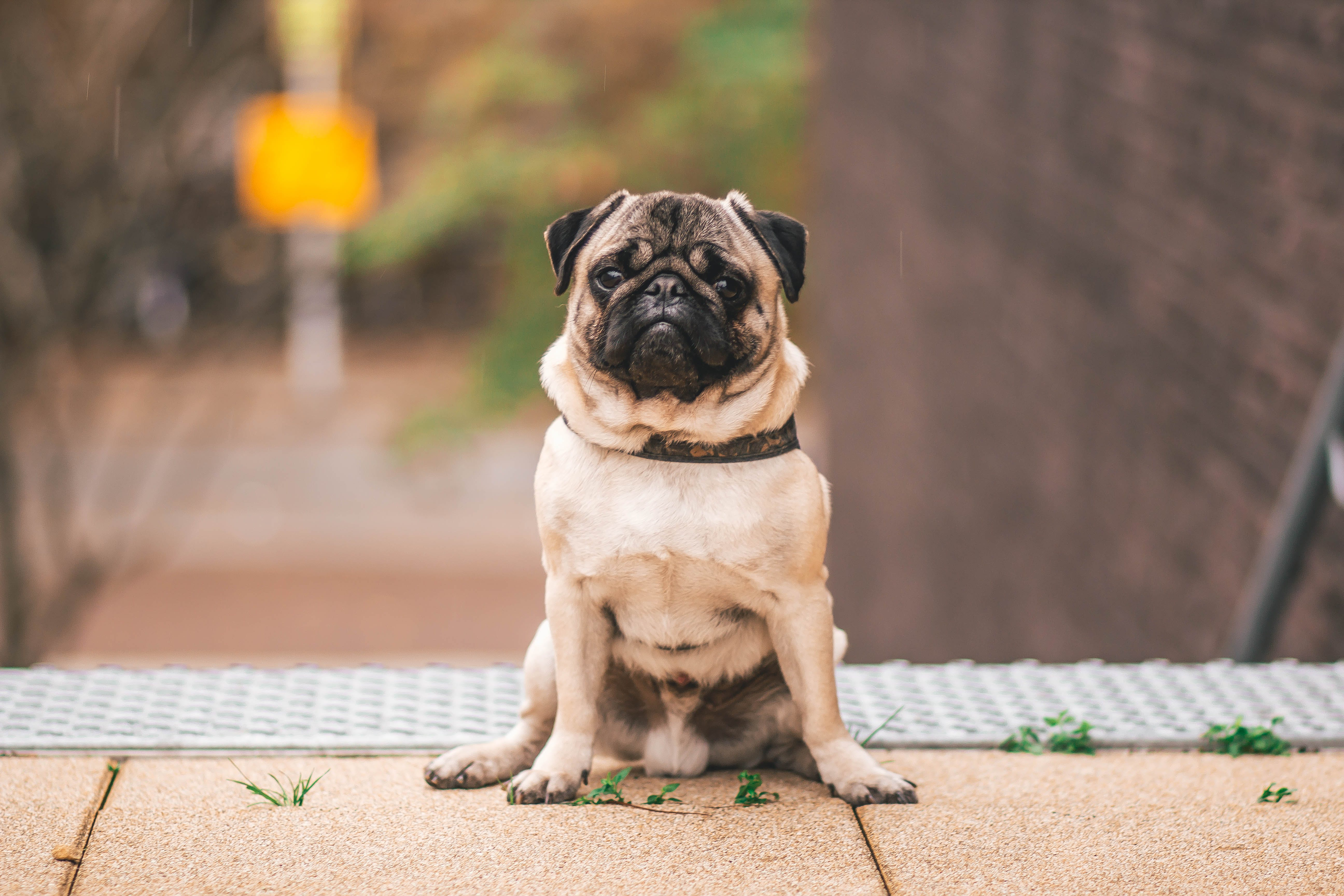 Pawn Pug Sitting on Beige Floor