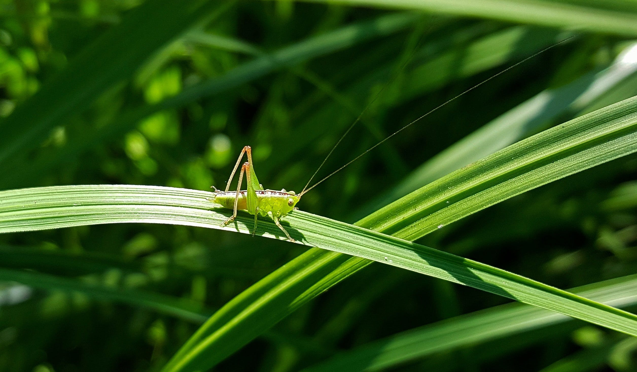 Green Grasshopper Perching on the Green Leaf Plant