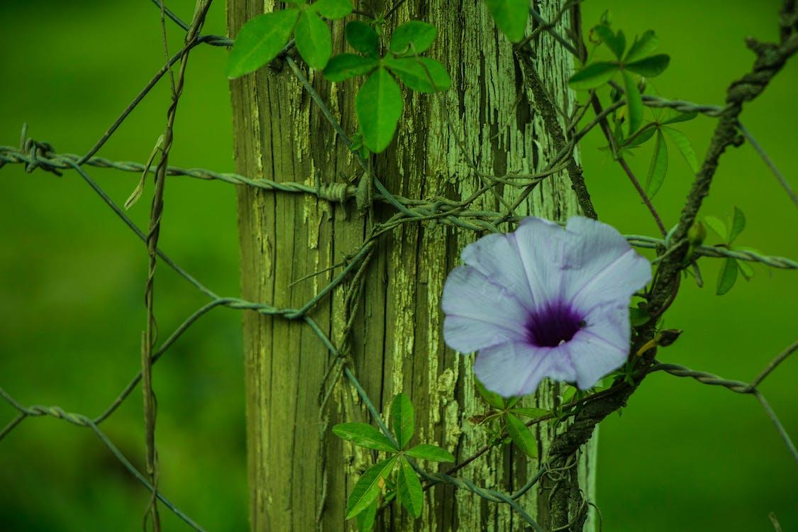 dřevo, farma, fialová