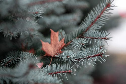 Бесплатное стоковое фото с вечнозеленый, ель, кленовый лист, размытый фон