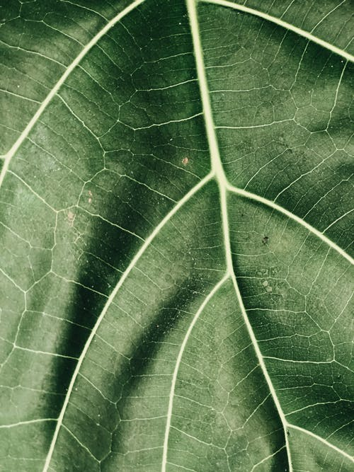 Green Leaf Closeup Photography
