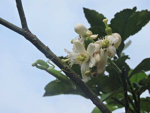 Foto d'estoc gratuïta de con bọ ngựa bên cành hoa