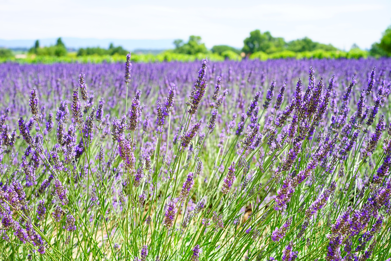 Lavender Field during Daytime