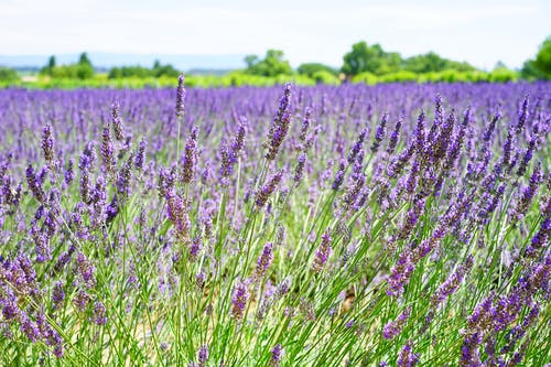 Lavender Field during Daytime