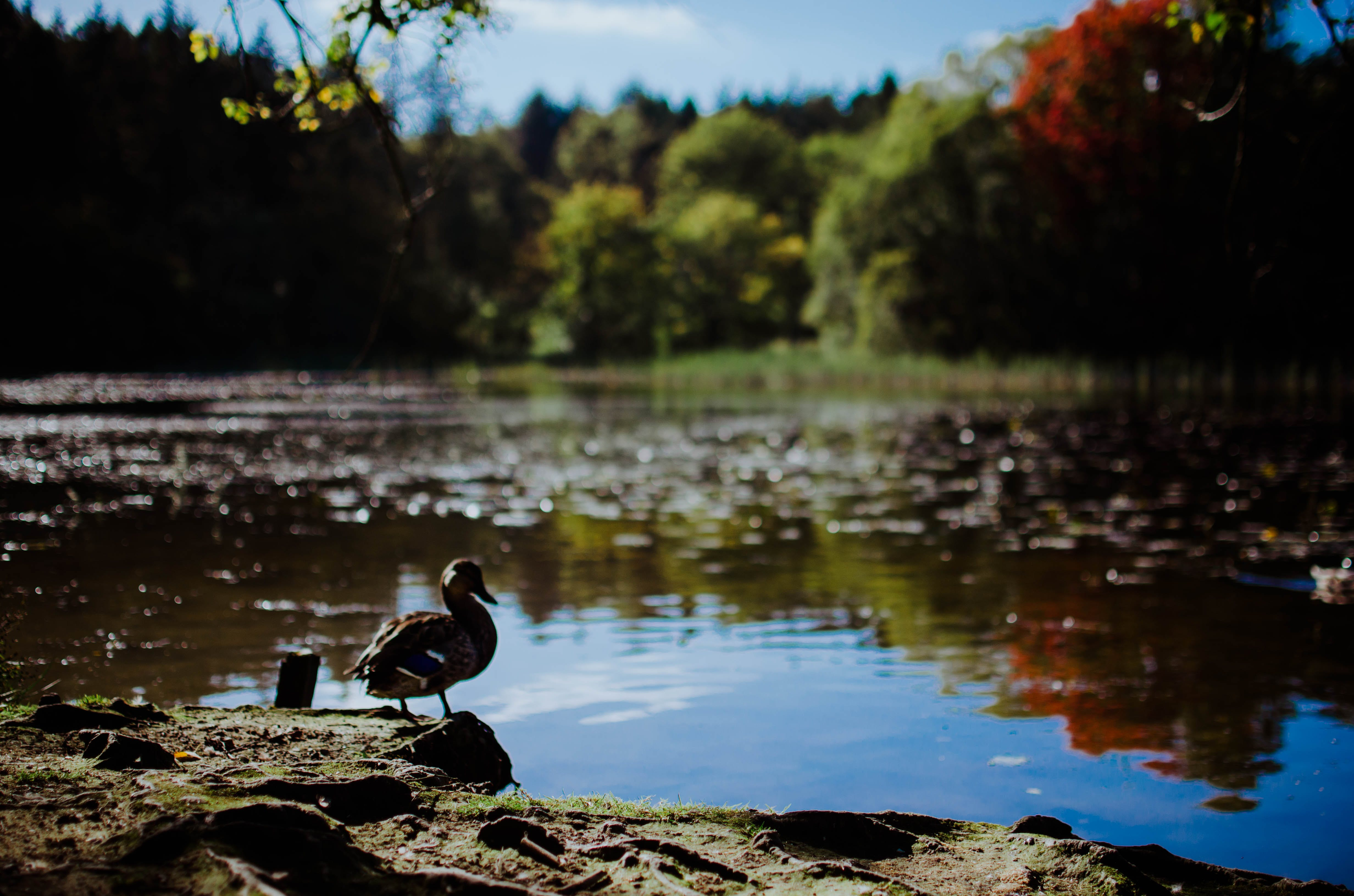 Free stock photo of duck, lake
