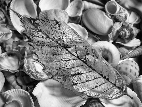 Kostenloses Stock Foto zu muscheln, schwarz und weiß, trockenes blatt