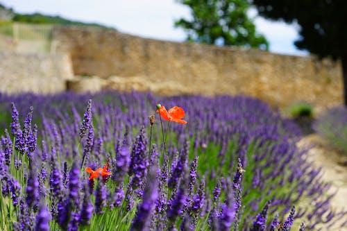 Foto d'estoc gratuïta de aromàtic, borrós, camp de flors, creixement