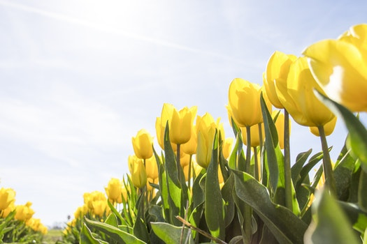 Yellow Tulip Flower Field during Daytime