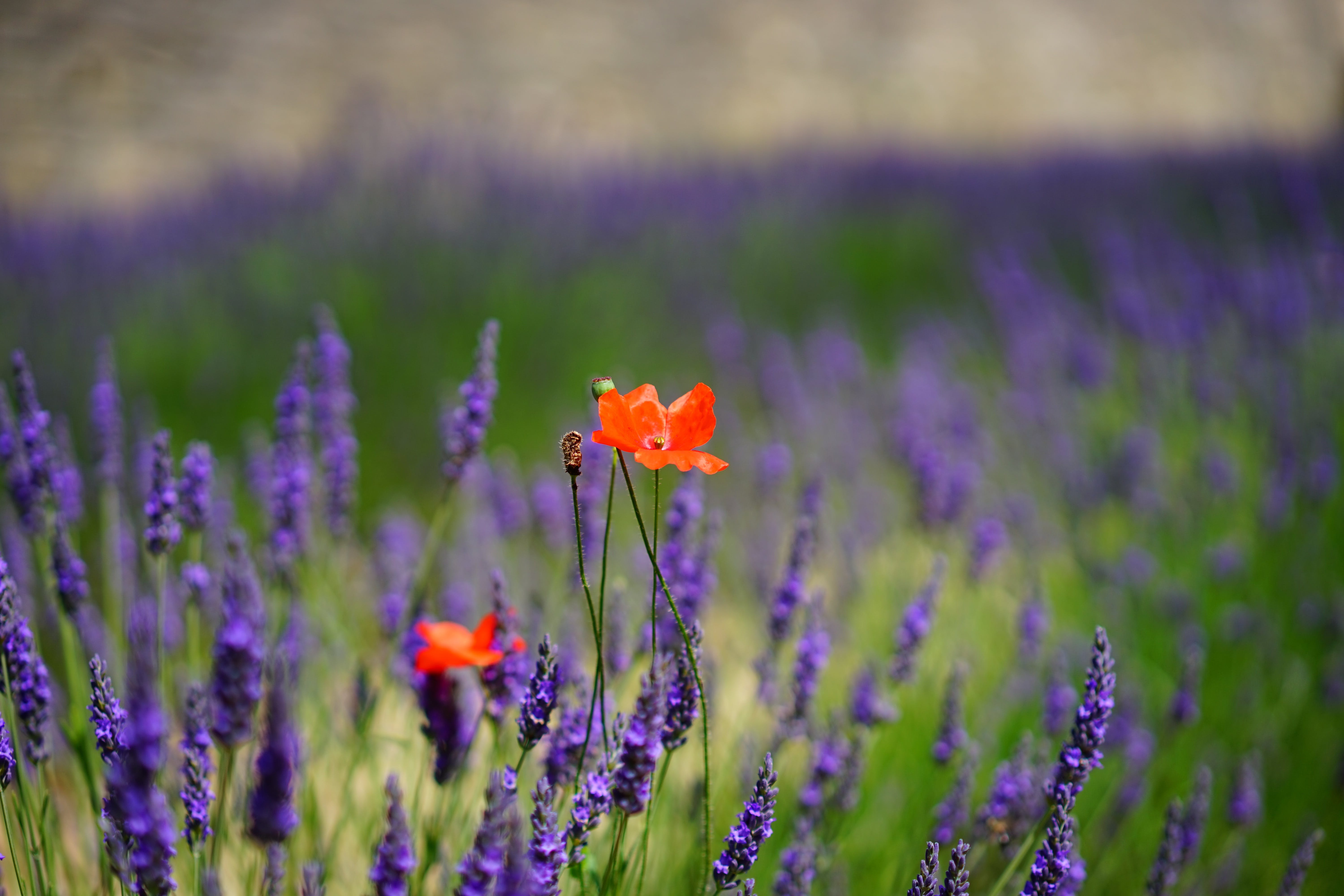 Orange Petal Flowers With Purple Grass during Daytime