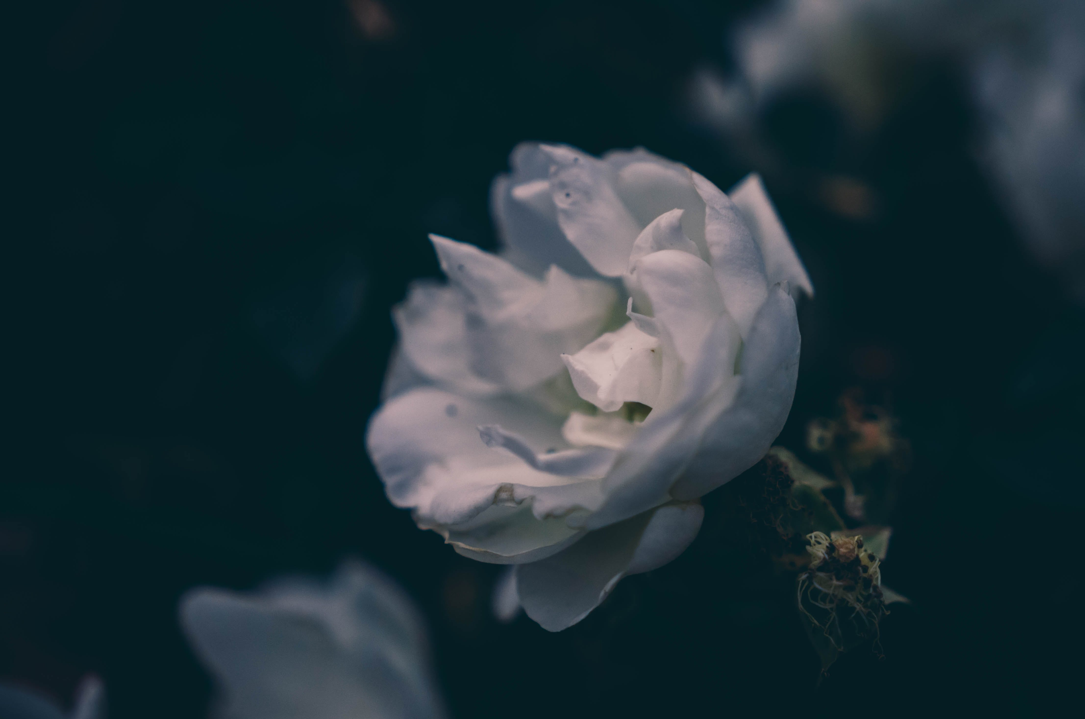 Free stock photo of flower, flowers, rose, soft