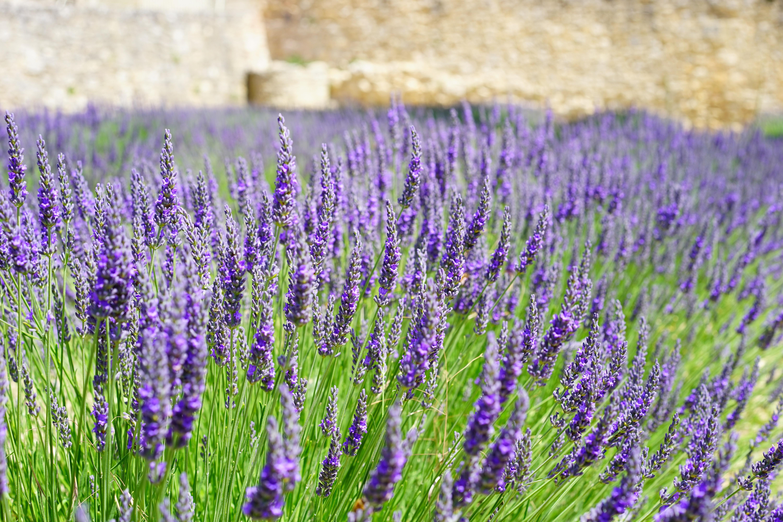 Purple Petal Flowers Focus Photograph 183 Free Stock Photo