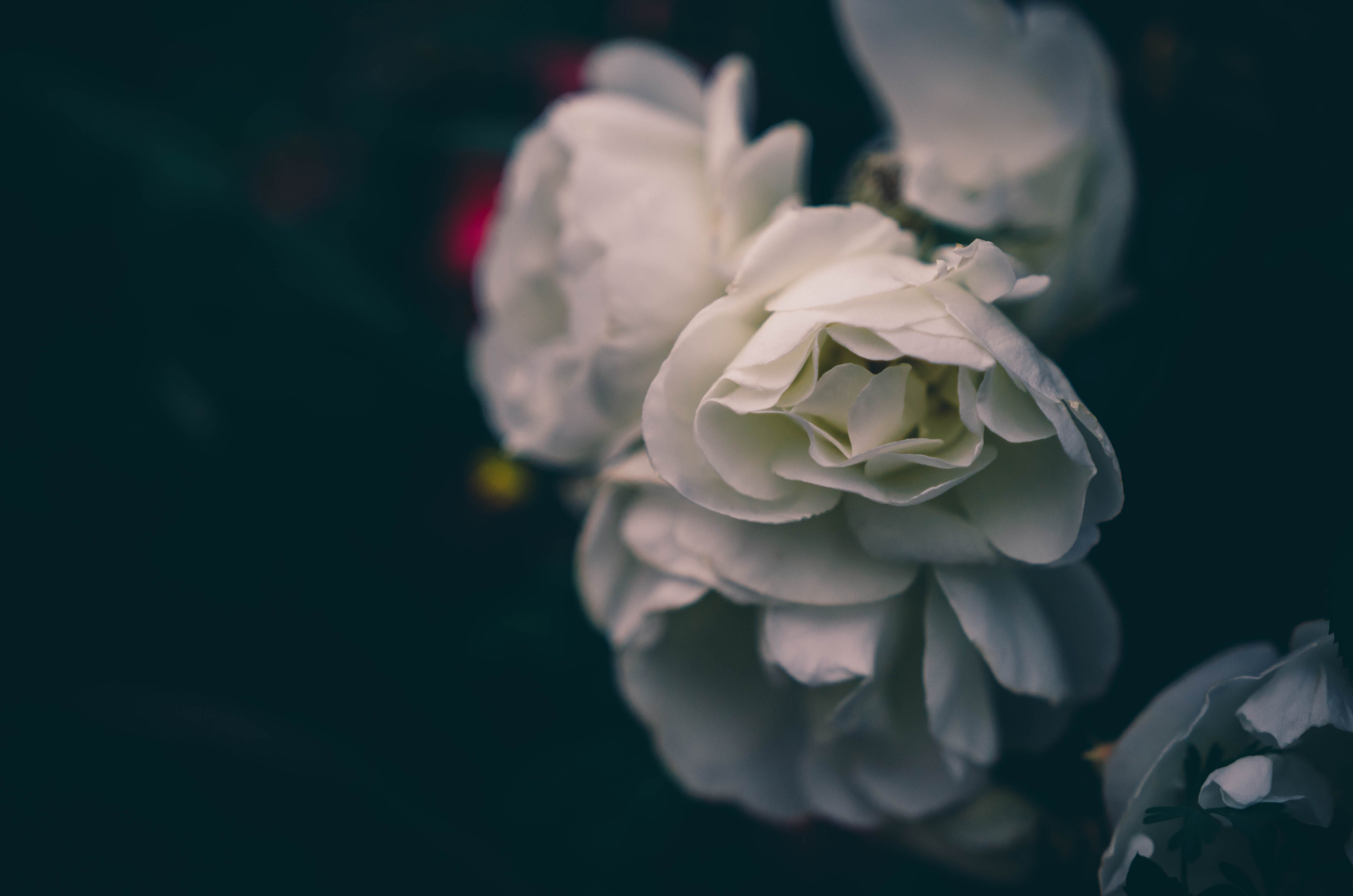 Free stock photo of bokeh, flowers, rose, white