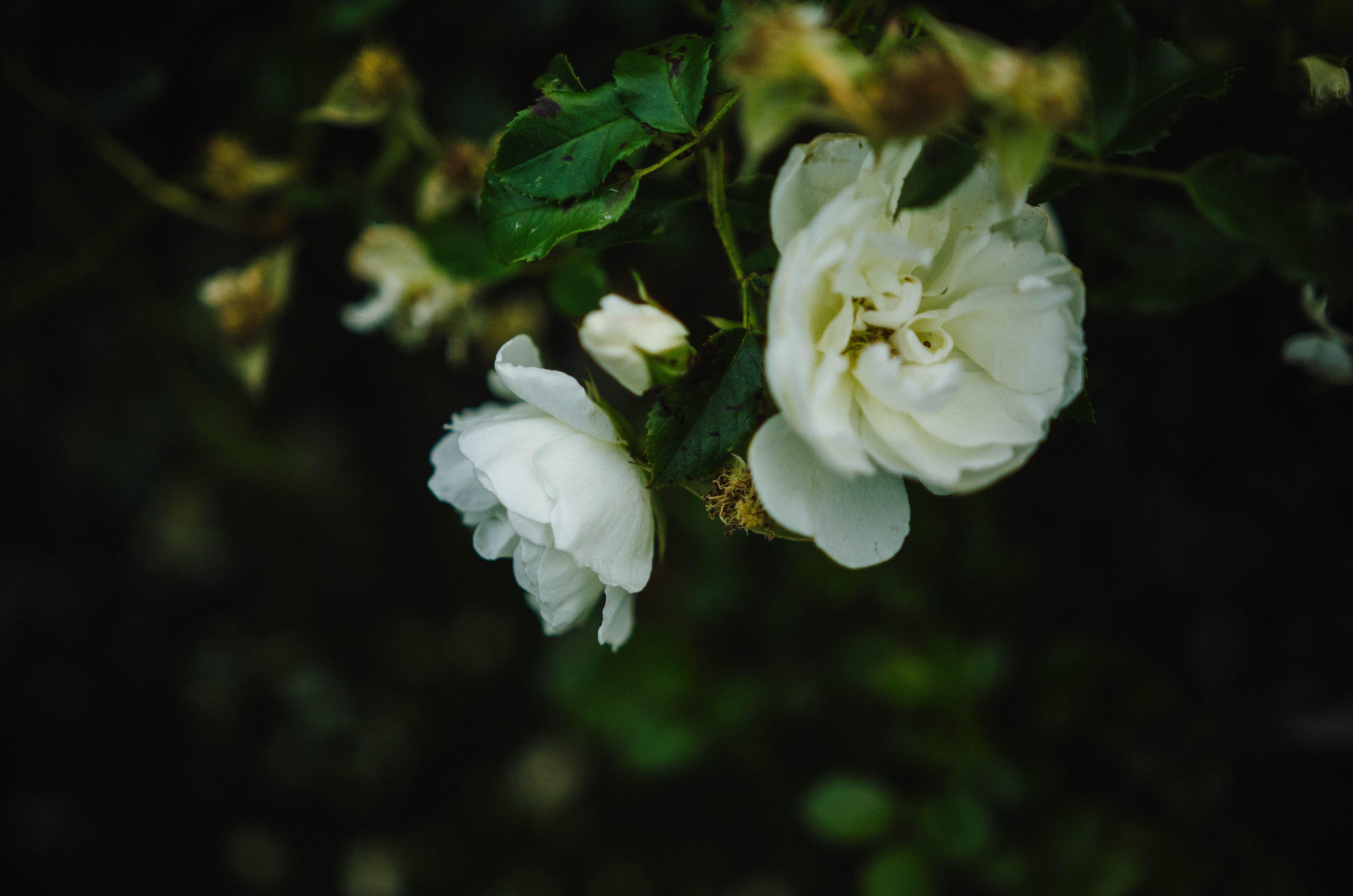 Free stock photo of flower, rose