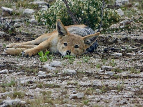 Photos gratuites de animal sauvage, coyote