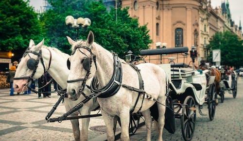 คลังภาพถ่ายฟรี ของ trave, การถ่ายภาพสัตว์, การถ่ายภาพโบราณ, ขี่ม้า