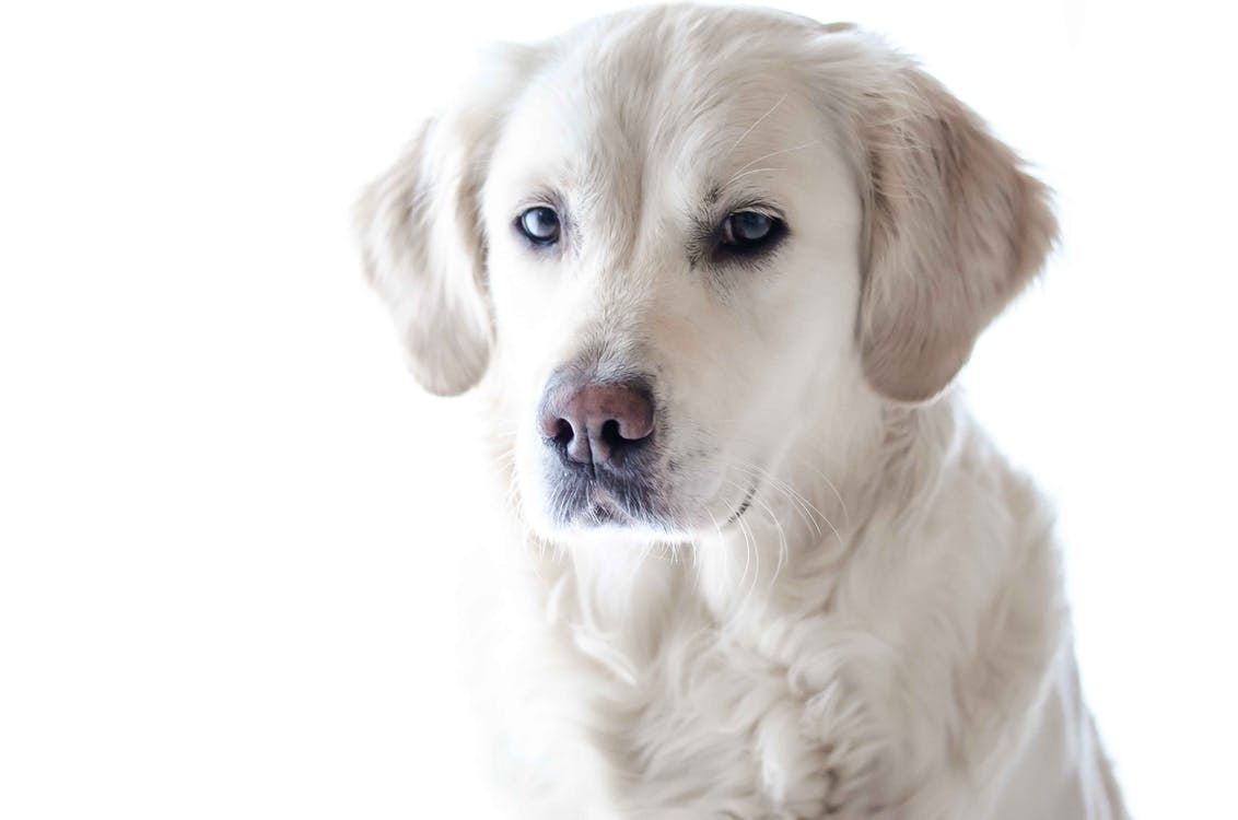 adorable, animal, canino