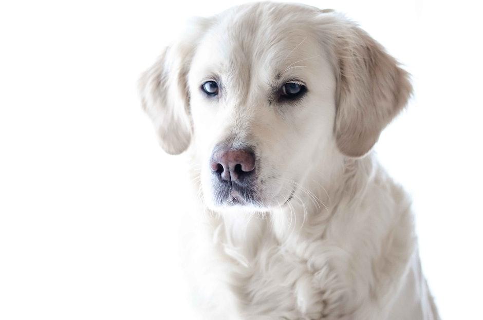 Light Golden Retriever Puppy Close-up Photography