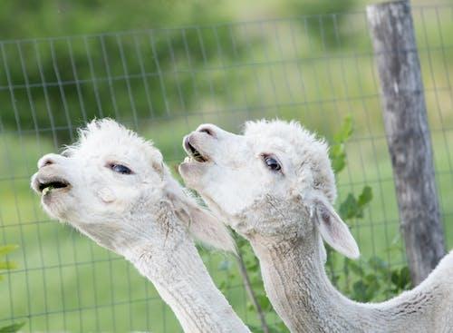 Foto stok gratis alpacas, alpaka, binatang imut, binatang lokal