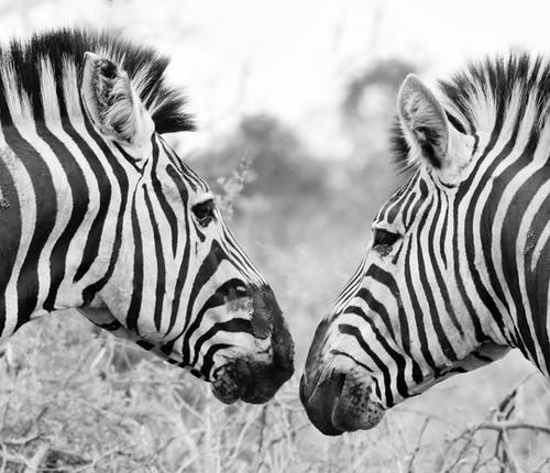 Monochrome Photo of Zebras Looking at Each Other