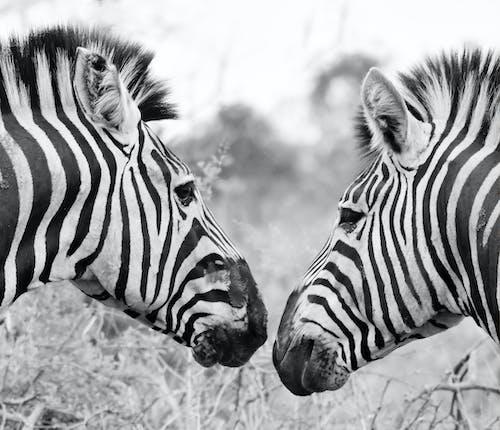 Foto d'estoc gratuïta de animal, animal salvatge, cabellera, caps