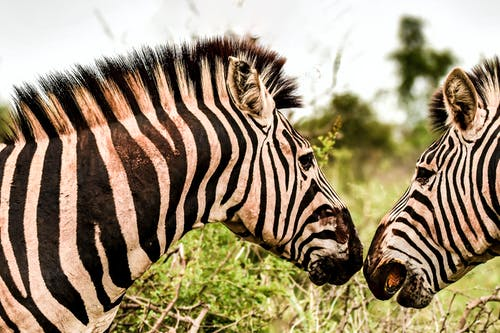 Close-Up Photo of Two Zebras