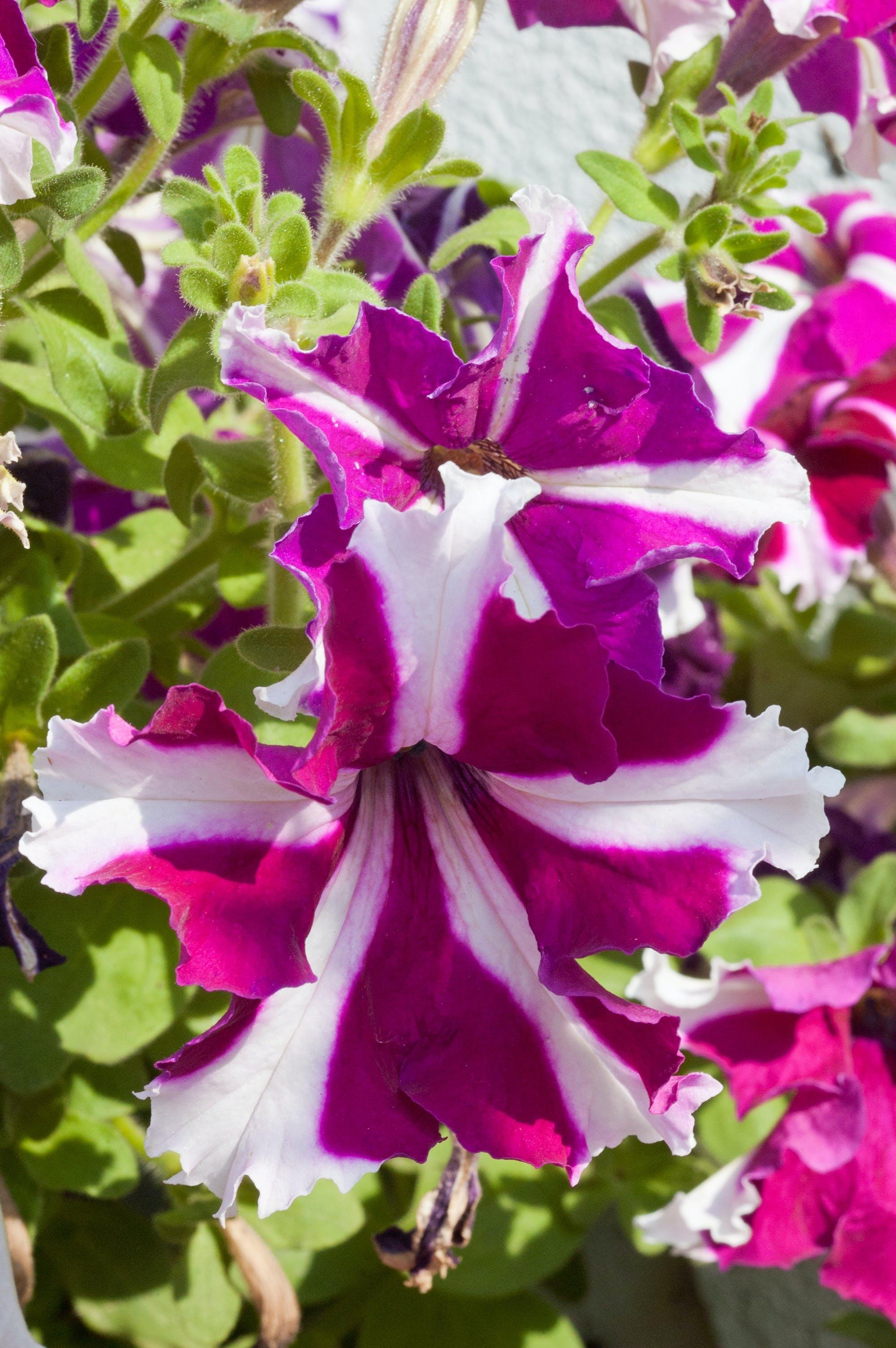 Free stock photo of cascading, flower, multicolored petunia, petunia