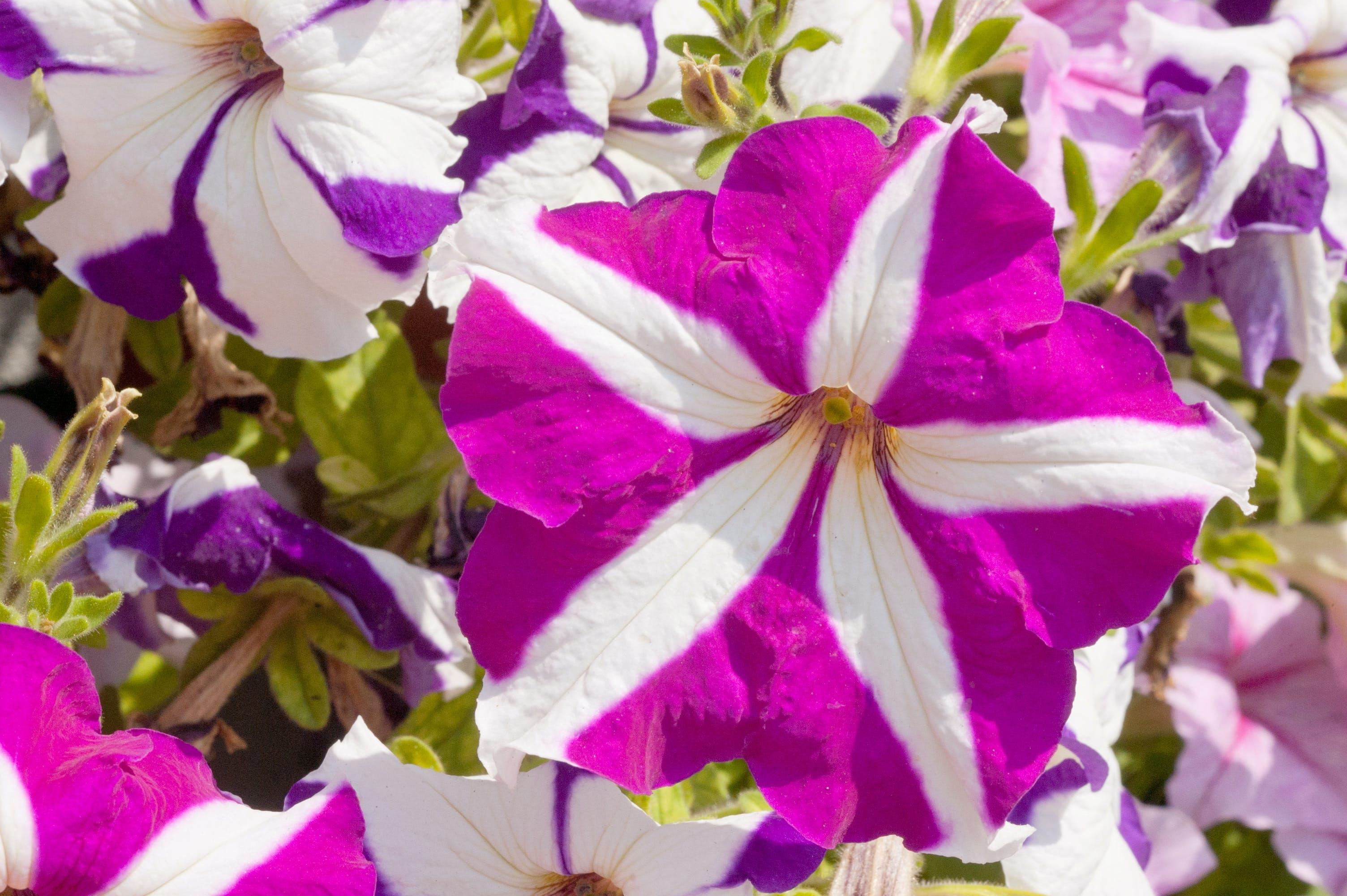 Free stock photo of cascading, flower, home garden, petunia