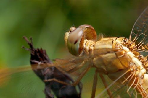 Ingyenes stockfotó összetett szem, rovar, szárnyak, szitakötő témában